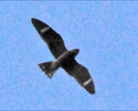 nighthawk.jpg