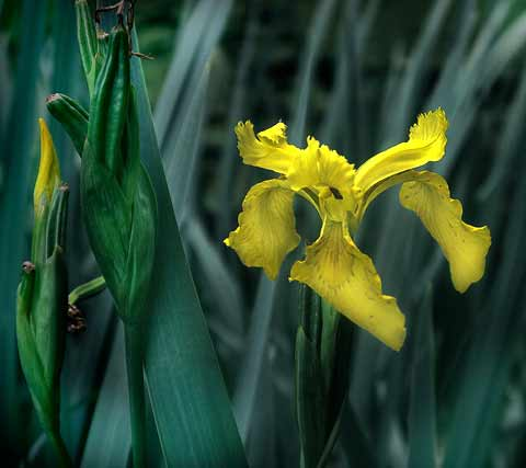 IMG_0292tallYellowIris480