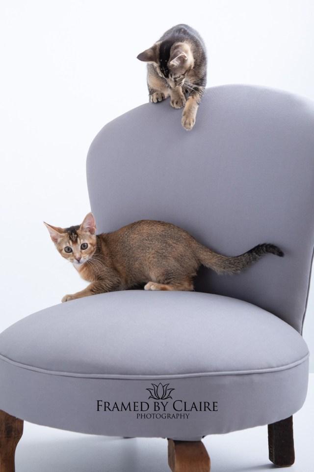 kitten pet studio portraits