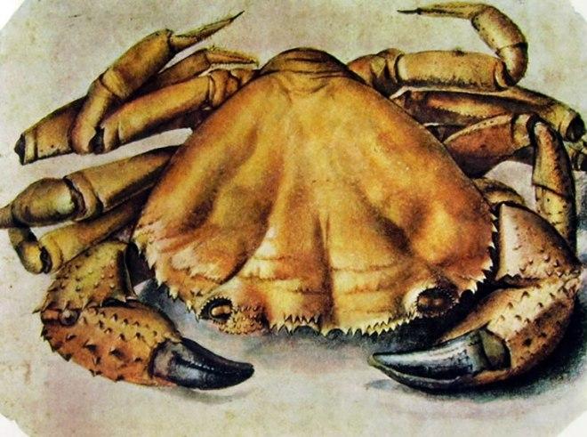 Albrecht Dürer: Granchio di Mare