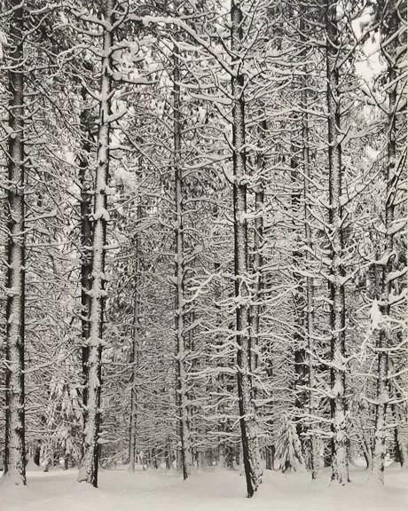 © Ansel Adams, ca 1933, Trees and Snow