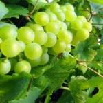 White wine from Chardonnay