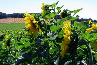 sunflowers-16