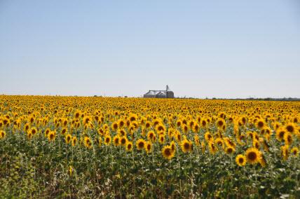sunflowers-8