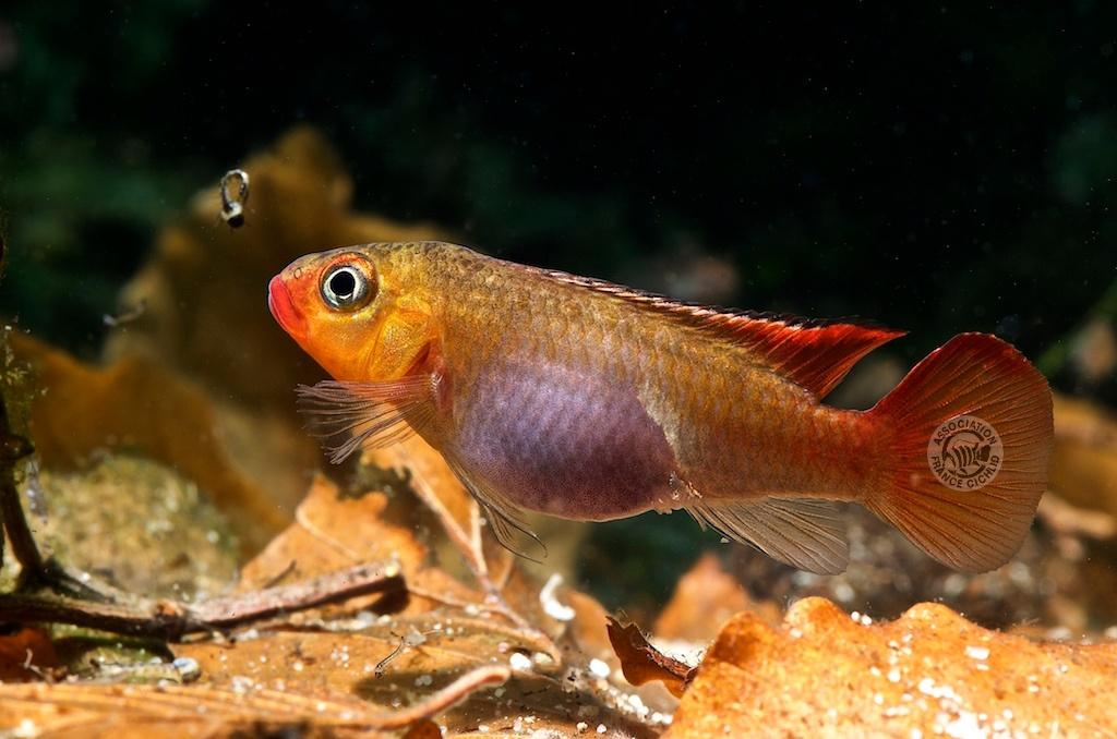 Congochromis_sabinae_Nioki_Femelle