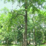 albero_iroko
