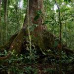 albero_okoumè