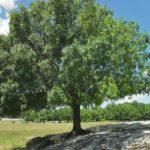 albero_di_frassino