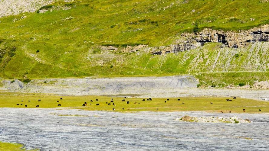 Les vaches du lac de Salanfe nous donne l'impression d'être sur des hauts plateaux.