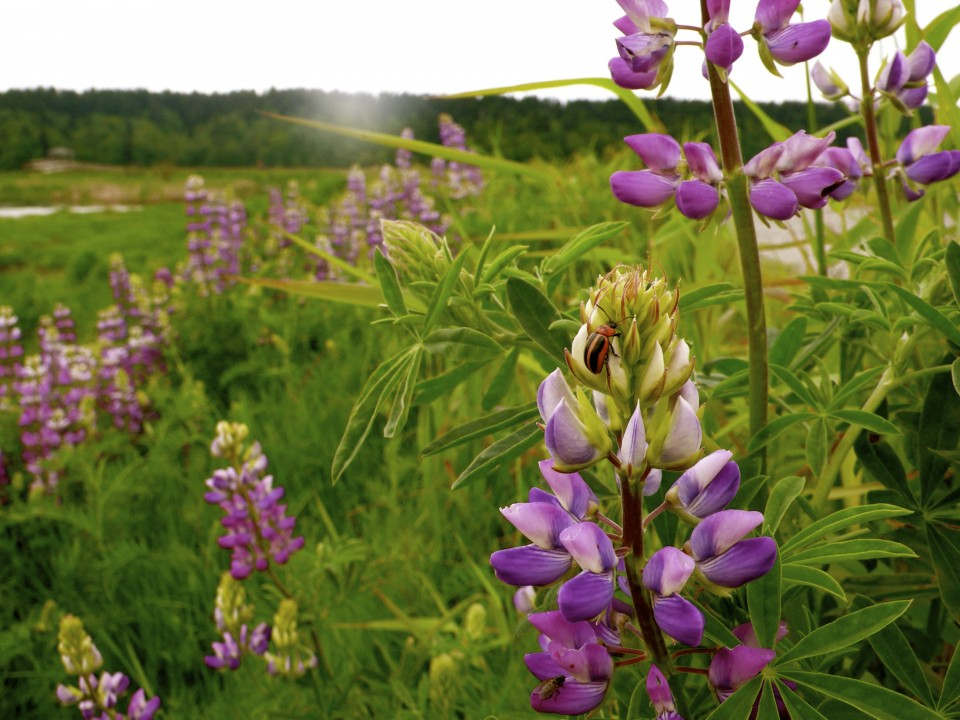 Lupine and Insect