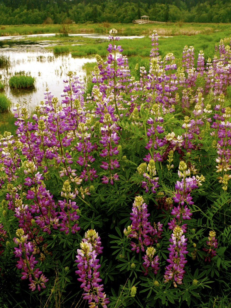 Nisqually lupine beauty