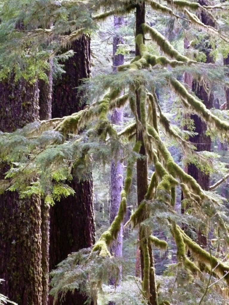 Olympic National Park: the rain forest