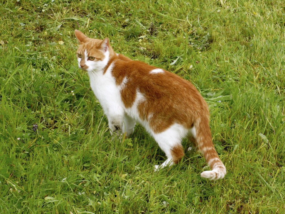orange and white kitty!  The cats here are very healthy and loving.
