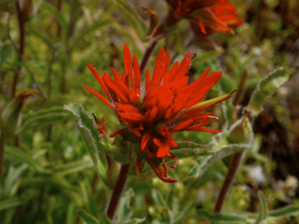 Indian Paintbrush (everyone knows the name of this wildflower)