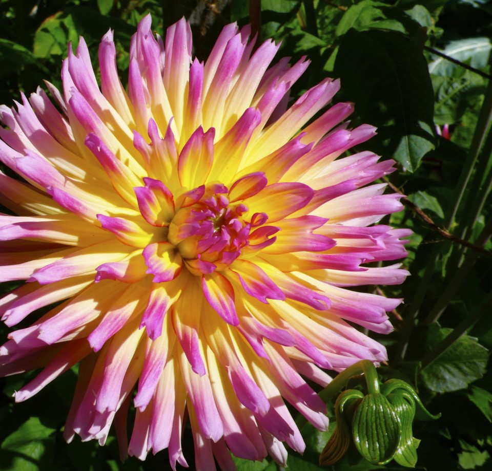 Dahlia III  Karl grows these dazzlers in his garden. I love the variety in the Dahlia family of flowers.
