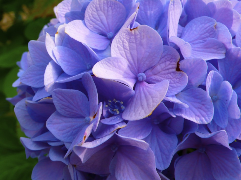 And lastly, this is MY hydrangea!  Leslie's mom planted her and called her Francesca.
