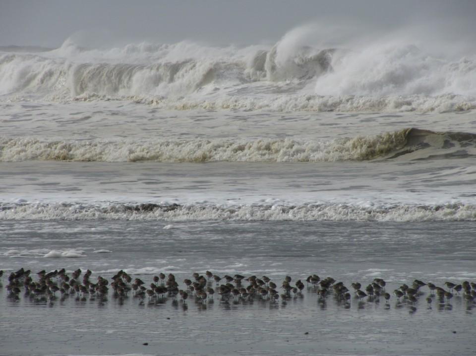 Winter Waves and Shorebirds, Ocean Shores, Washington