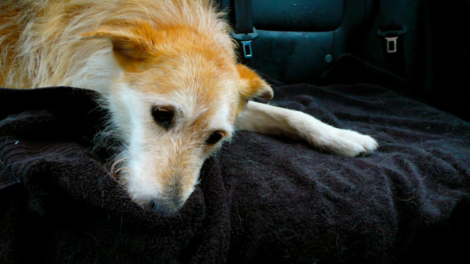 """""""A tired dog is a happy dog!"""" (after the hike on the way home)"""