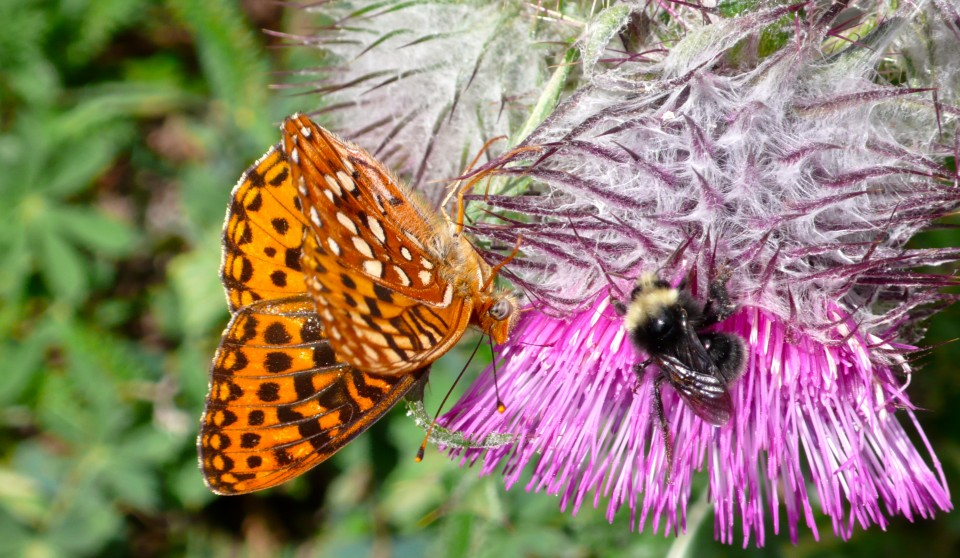 Was photographing the butterfly when a bee decided to share the same thistle!