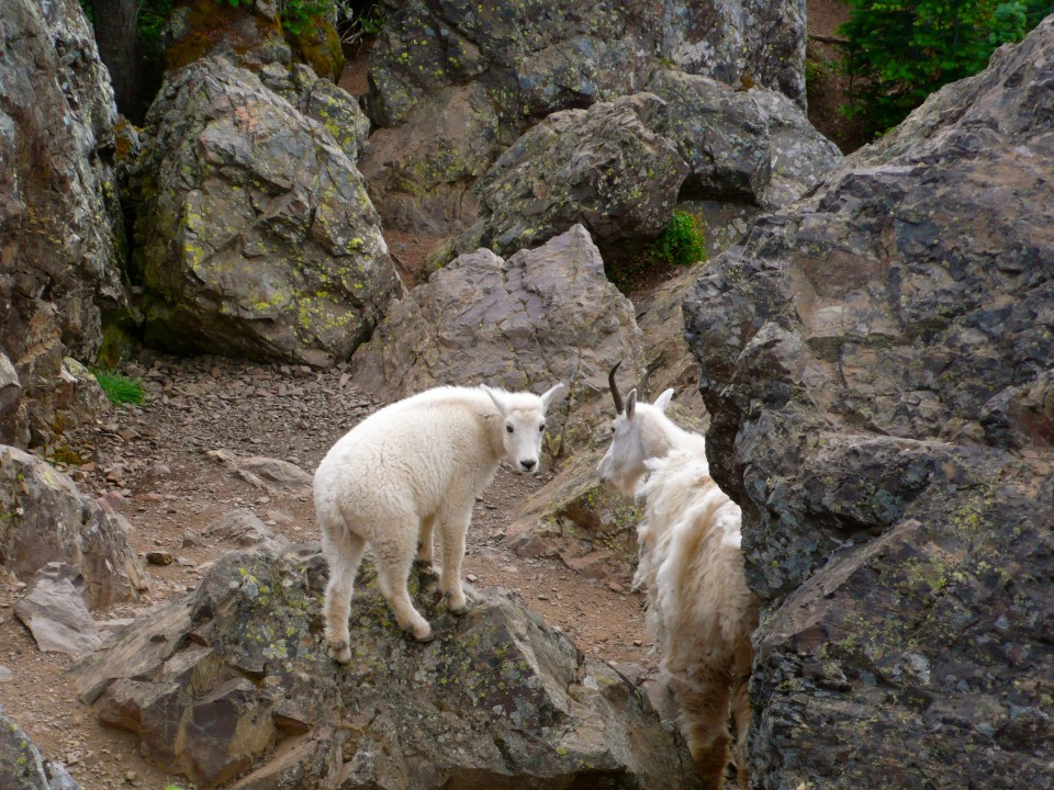 """Adorable..but keep your distance.  They were very close by and fearless. Mamma Mountain Goat and her baby.  Mary lovingly referred to the kid as """"Muffin""""."""