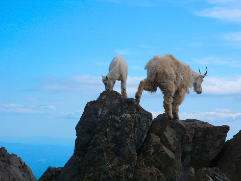 There they are again, agile as Mountain Goats will be!