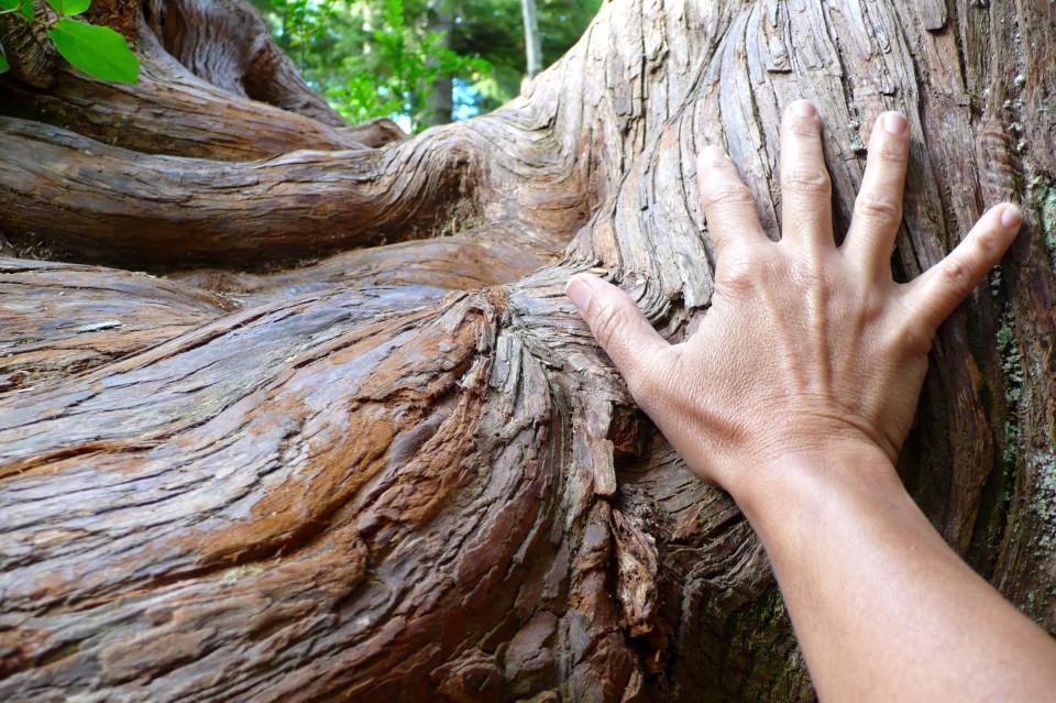 Feel the energy: my 53 year old hand on live ancient cedar tree