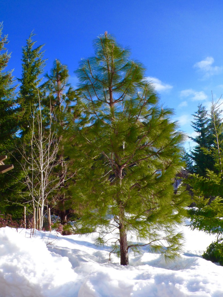 Another exquisite winter scene from my weekend at Tumble Creek, Washington