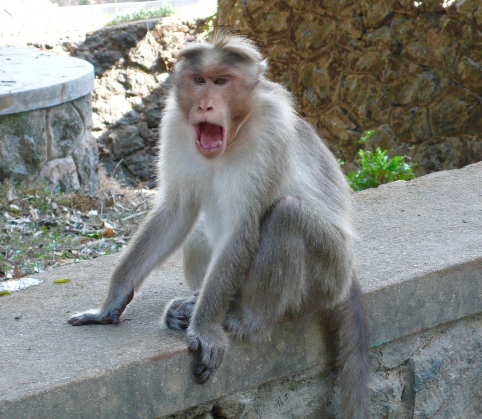 Yawning monkey in the park