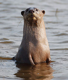 Please Note: Otter photo is not my photo, taken from the web