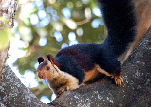 Indian Giant Squirrel (Photo is not mine, and was found on line)