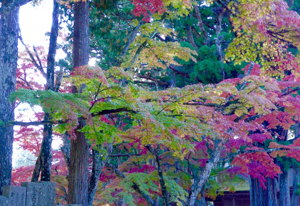 Autumn Leaves..Koyasan is the only place where the have leaves started to turn red already.