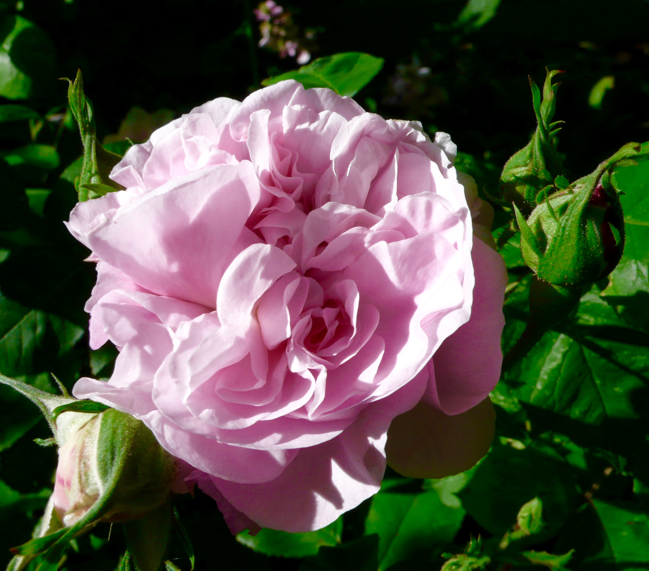 Fragrant late spring rose