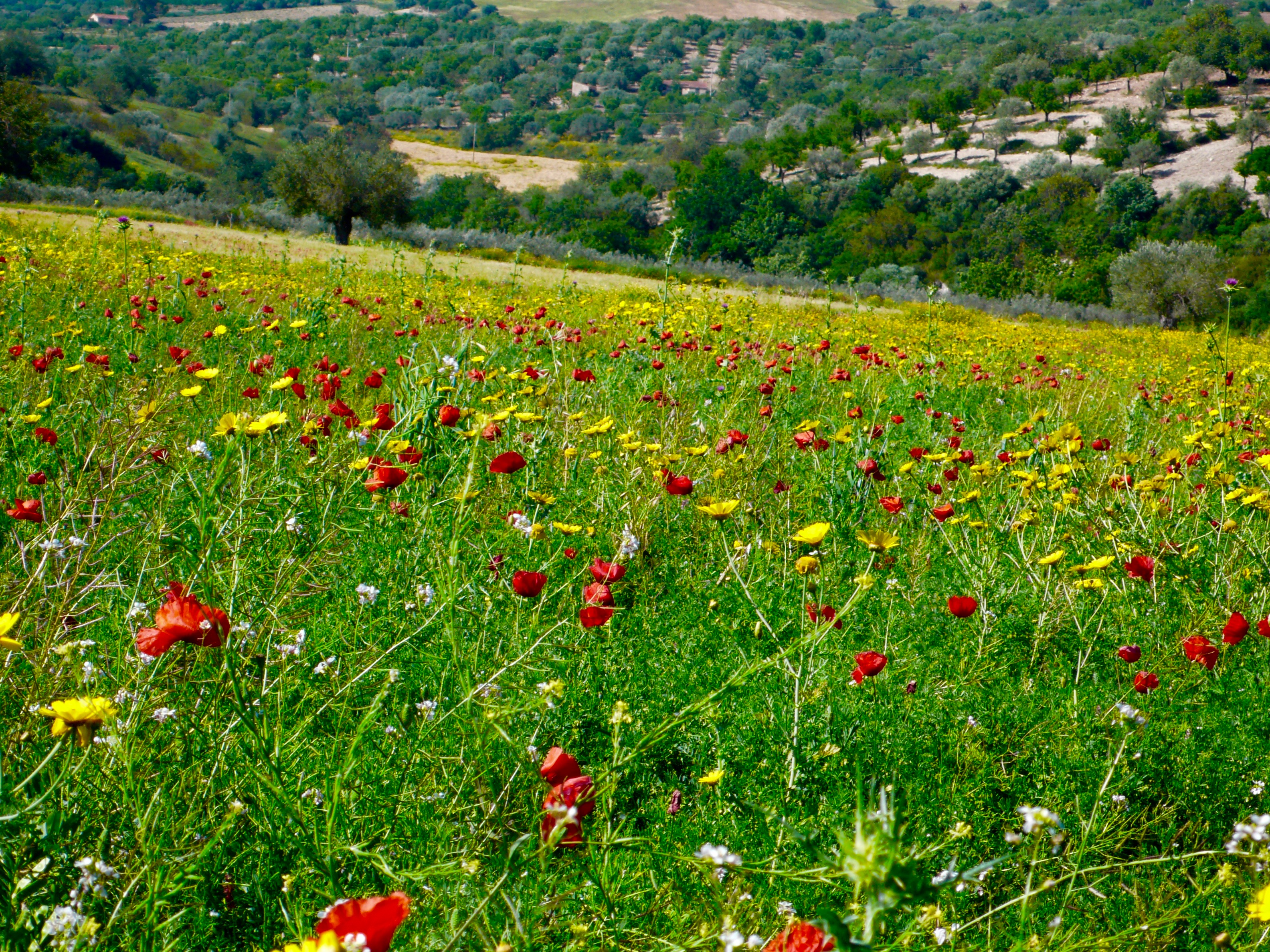 On the way to Modica, I finally got the shot I wanted: fields of wildflowers at their peak of beauty.  Red poppies standout against yellow flowers