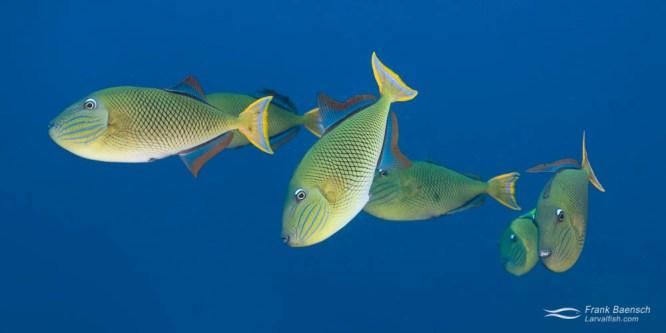 Crosshatch Triggerfish Breeding