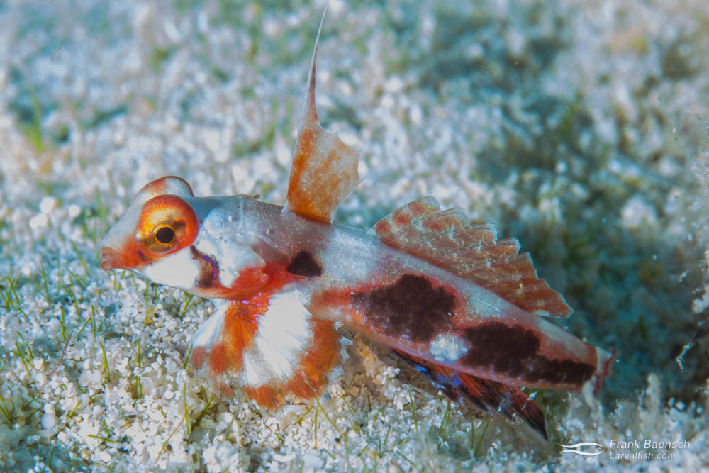Laboraotry reared juvenile Tiny Hawaiian dragonet (Synchiropus rubrovinctus)  released on the reef.