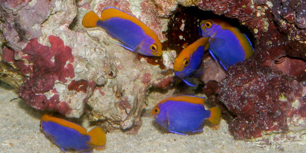 Cultured Centropyge resplendens juveniles.