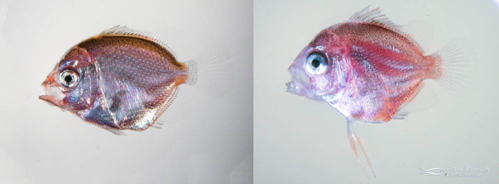 Left: A 25 day old Colin's Angelfish larva (note the pelvic fin extensions). Right: A 24 day old Japanese Pygmy Angelfish larva.