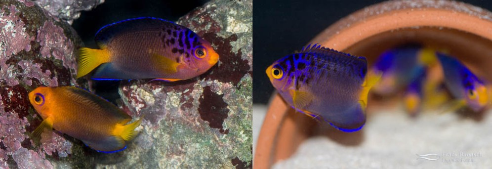 Left: A pair of Debelius Angelfish (female below male). Right: A 120-day-old juvenile Debelius Angelfish (just past metamorphosis).