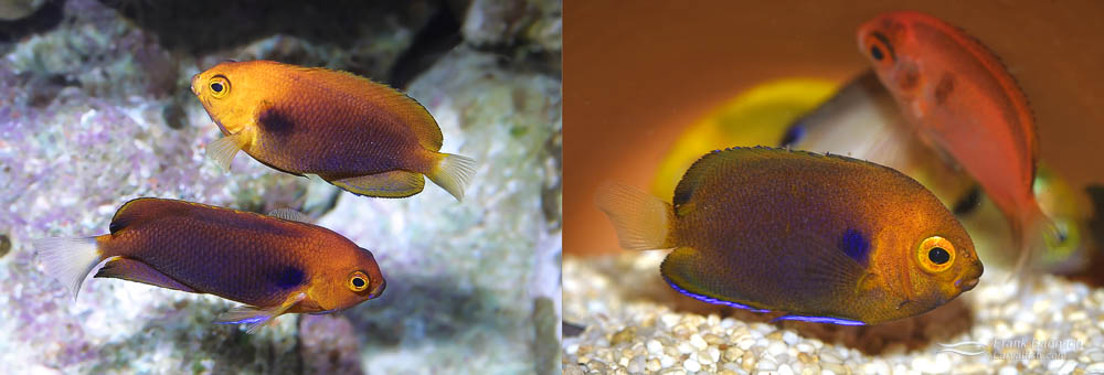 Left: A pair of Fisher's Angelfish (male on bottom). Right: 72-day-old Fisher's Angelfish juveniles