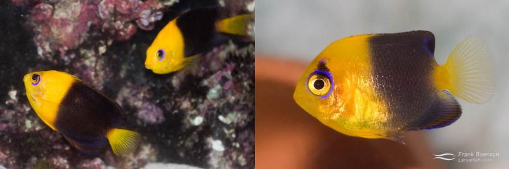 Left: A pair of Joculator Angelfish (male below female). Right: A 125-day-old juvenile Joculator Angelfish (just past metamorphosis)