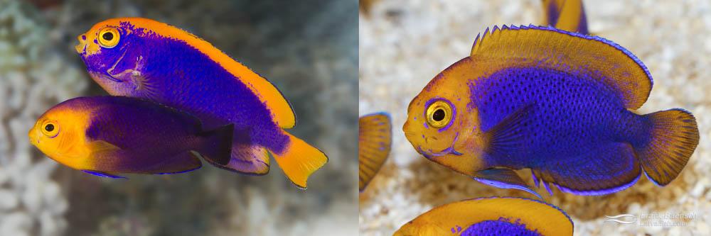 Left: Resplendent Angelfish male and Cherubfish female (parents). Right: Resplendent Cherubfish juvenile, 200 dph.