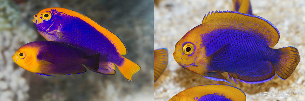 Left: Resplendent Angelfish male and Cherubfish female (parents). Right: Resplendent Cherubfish juvenile, 200 dph.