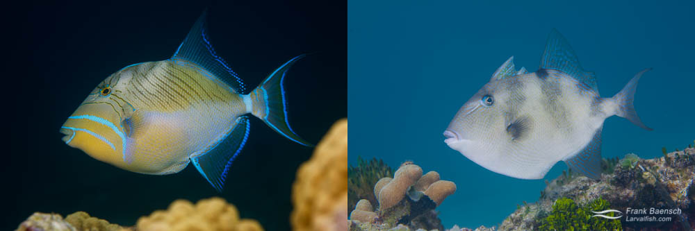 Like most triggerfish, Queen Triggerfish (left) and Grey Triggerfish (right) are nest builders. Spawn size for both species exceeds 100,000 eggs. The parents defend the nest vigorously until the embryos hatch in the evening, the day after spawning.