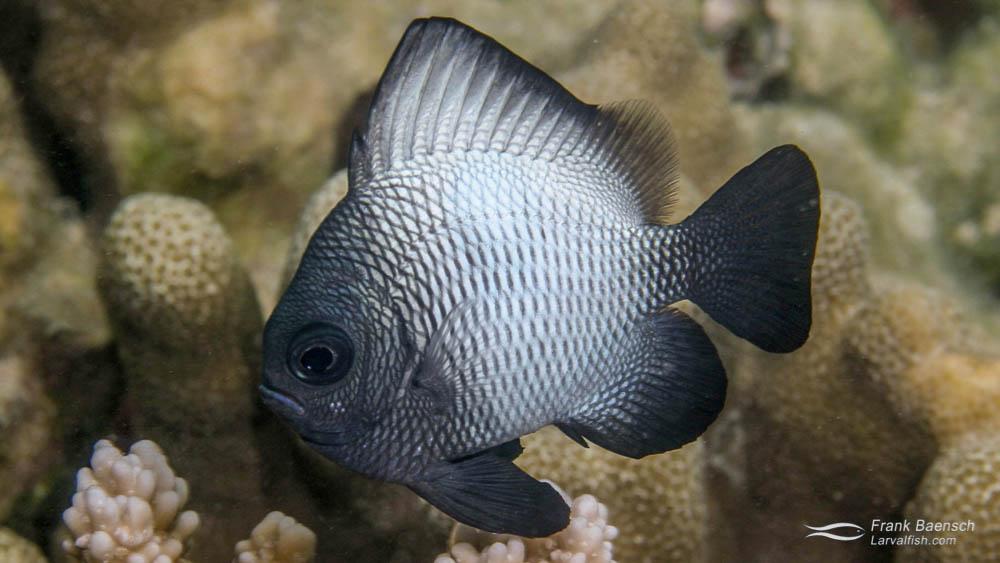 Adult Hawaiian Dascyllus (D. albisella) on a reef in Hawaii.