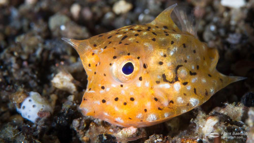 Juvenile Thornback Cowfish (Lactoria fornasini) in Indonesia.
