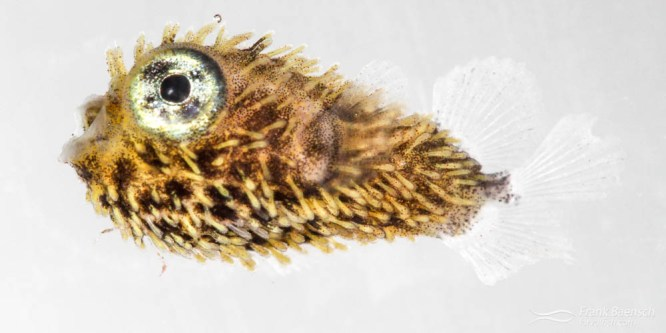 Spiny Porcupinefish Larval Rearing