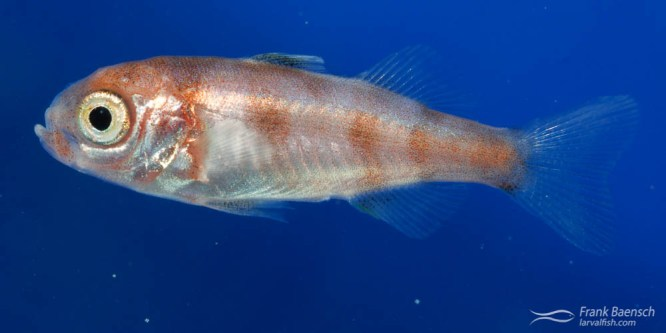 556 | specimen 556 | na | 2/9/13 | species?  | 16.5 mm | 32 dph | tow48