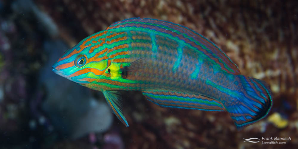 Hoeven's wrasse intermediate phase (Indonesia).