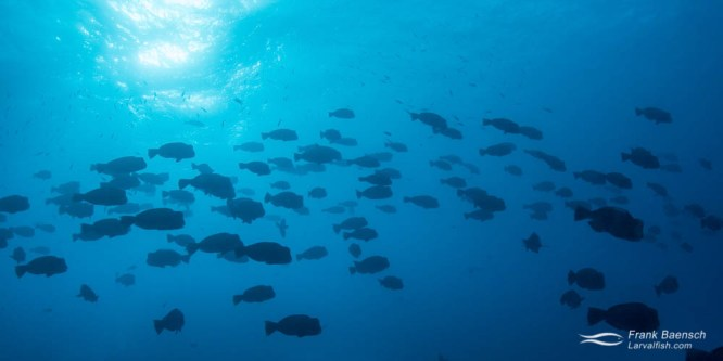 Bumphead parrotfish (Scarus perrico) aggregate at dawn just before spawning on a reef in Palau.