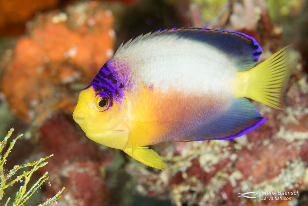 Multicolor angelfish (Centropyge multicolor) in Palau.